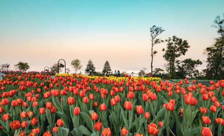 1 million tulips to light up Ba Na Spring Festival of the Earth Pig Year